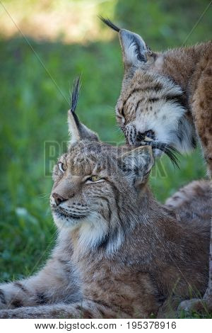 Close-up Of Lynx Nibbling Mate In Shadows