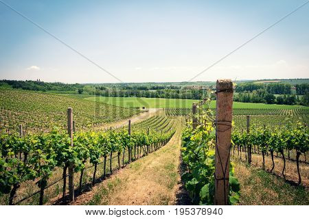A vineyard landscape in early summer, green