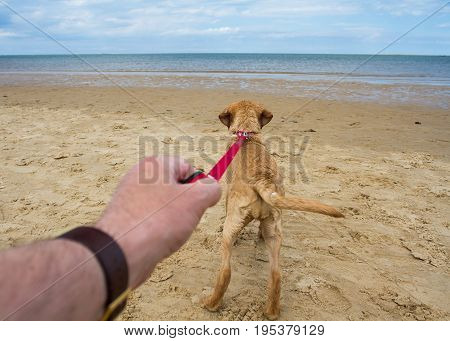 An enthusiastic young Labrador Retriever puppy or dog pulling hard on it's owners leash whilst running towards the ocean on a sandy beach as the owners arm is in shot in a point of view image.