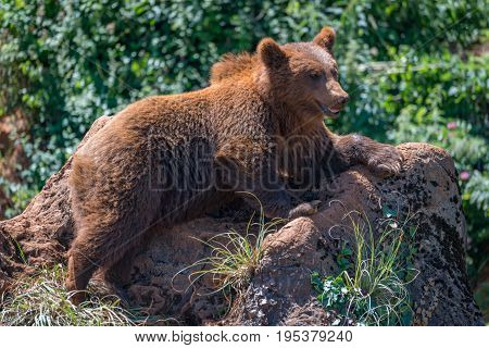 Brown Bear Lying On Rock Amongst Undergrowth