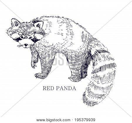 Red panda, rare animal, conservation status ink illustration