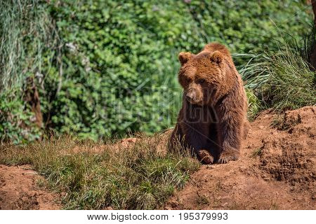 Brown Bear Sits On Rock In Undergrowth
