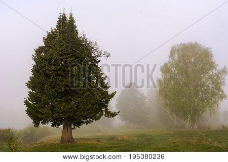 Mist and fog envelop fir trees fir trees appear from the mist