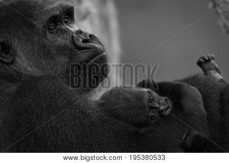 Mono Gorilla Baby On Arm Of Mother