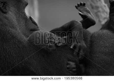 Mono Gorilla Baby In Arm Of Mother
