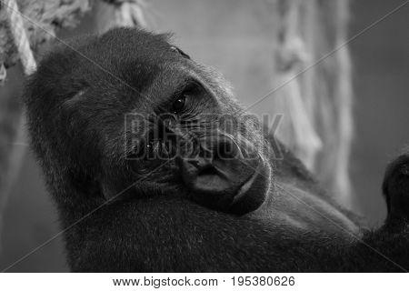 Mono Close-up Of Gorilla Head In Hammock