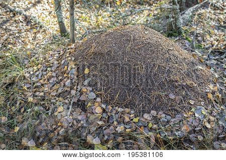 In woods among fallen leaves and twigs is a large anthill.