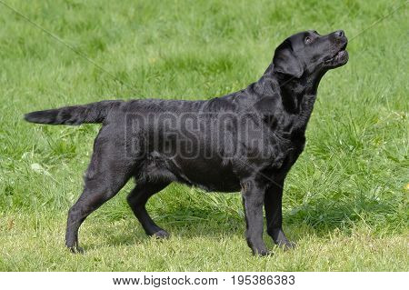 Typical Black Labrador Retriever in the garden