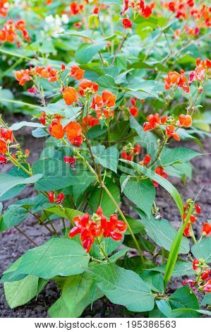 Red little flowers of Runner Bean Plant (Phaseolus coccineus) growing in the garden