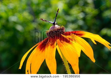 Close Up of yellow flower (Echinacea paradoxa) with butterfly