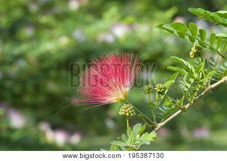 Image of Red Powder Puff (Calliandra Haematocephala)