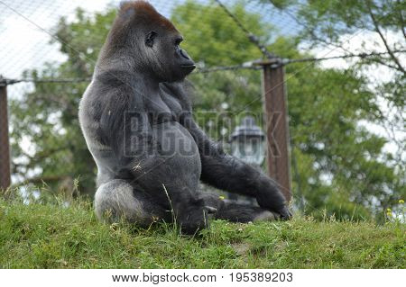 A male western lowland gorilla in the outdoors