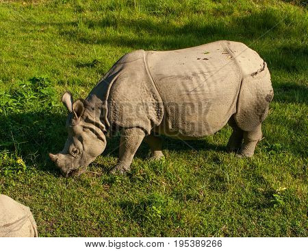 The armored Rhino is eating the green grass in Chitwan National Park, Nepal