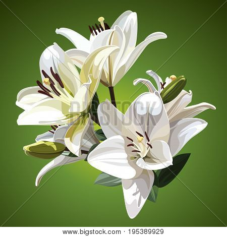 White Flowers of Lily (Madonna Lily). Illustration on Green Background.