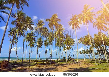 Beautiful Formation Of Coconut Trees  At The Beach Of South China Sea.