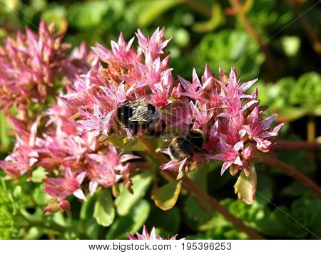 Bumblebee insects bees nature heather plants garden park red green