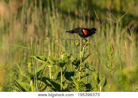 a redwing blackbird chirping to the nearby birds