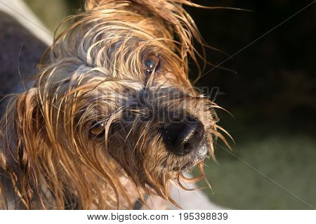 Surprised dog. Doggy with curiosity expression raising his ears. Close-up Dog tilting his head Hey what's up, brown Yorkshire Terrier doggie. Blurry background