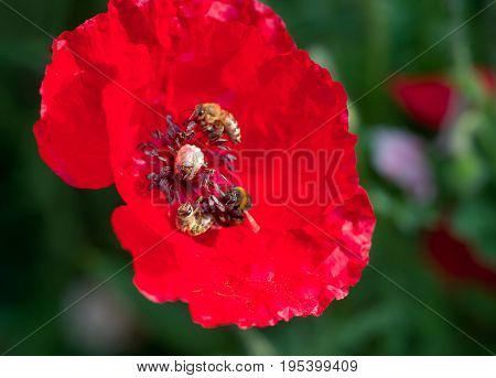 Macro photo two of bees collecting pollen from red poppy flower. Blurry field background