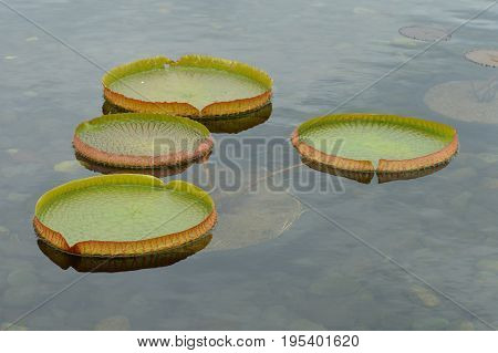 A lily pad floating on the pond