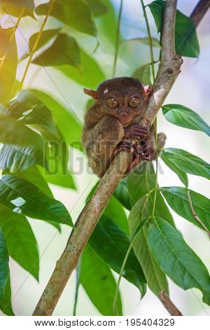 Tarsier Tarsius Syrichta , Bohol, Philippines, closeup portrait, sits on a tree in the jungle.
