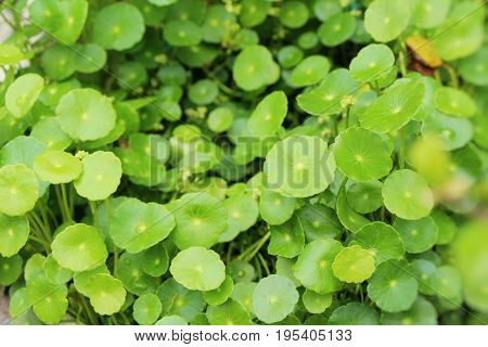 Asiatic pennywort at organic with the nature
