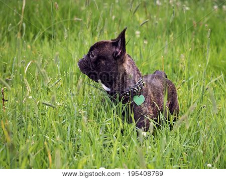 Beautiful French bulldog. Dog among the tall green grass in the field.