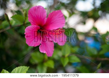 A beautiful pink hibiscus flower with a blurry green background of leaves.