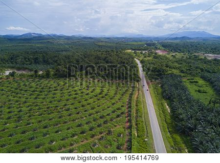 Arial View Of Oil Palm Plantation On East Asia