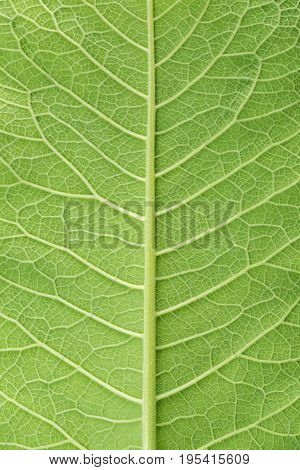 Leaf Of Fluffy Cover Texture, Plant Elecampane, Inula Helenium, Background