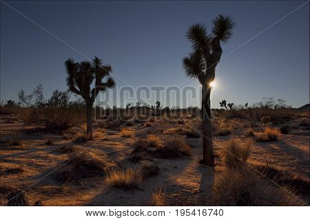 Late in the day in Joshua Tree National Park.As the sun sets soft rays reflect off the warm desert floor.