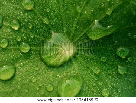 Close-up and top view image of dew on Centella asiatica leaf (Asiatic leaf Asiatic pennywort or Indian pennywort) after the rain in the dark. It is native to wetlands in Asia. It is used as a culinary vegetable and as medicinal herb.