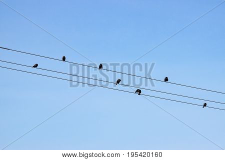 Numerous small birds on telephone wires silhouetted against a blue sky