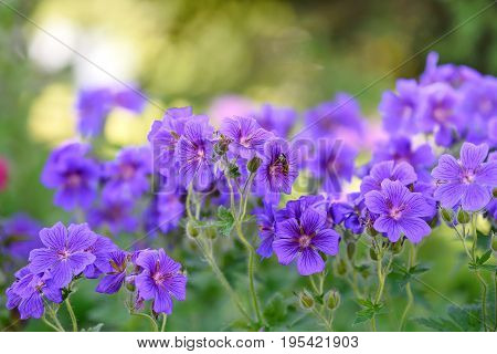 Purple flowers blooming in a home garden and bee collecting nectar - macro shot.