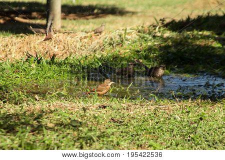 Bird bathing in Brazilian farm. Wild life