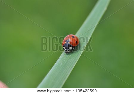 Ladybird sitting on grass in the meadow. Ladybug in nature