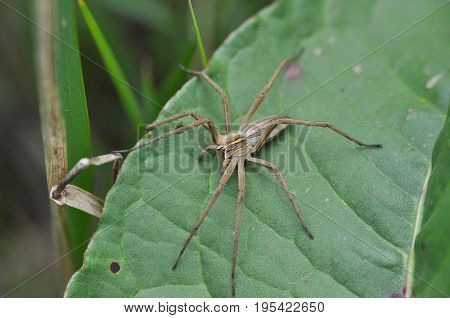 Wolf spider ready for attack in grass. Wolf spider hunting in the wild