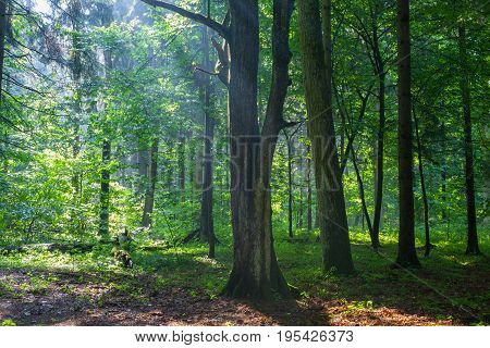 Old natural forest at dawn just rain after with oak and hornbeam trees in foreground, Bialowieza Forest, Poland, Europe