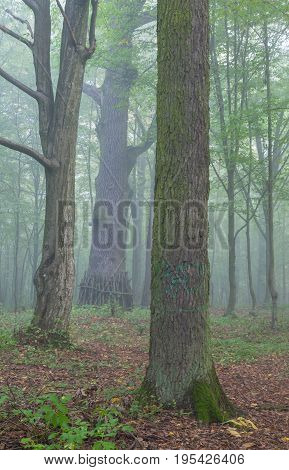 Three old trees in misty summer morning, Bialowieza Forest, Poland, Europe