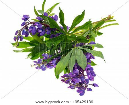 Purple lupine with green leaves, isolated on white background. Studio Photo