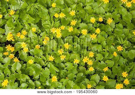 A Flat View At The Group Of Bright Ficaria Verna Yellow Flowers