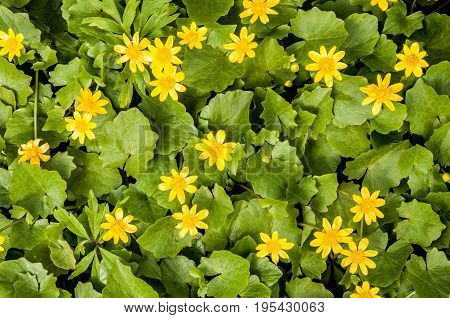 A Background With Closeup Flat View At The Ficaria Verna Yellow Flowers In The Forest