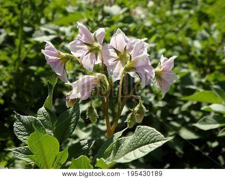 Potato flower on green background