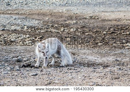 Arctic Fox with summer color near a campsite Svalbard