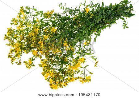 Big bunch of yellow St. John's wort medicinal on white background. Studio Photo