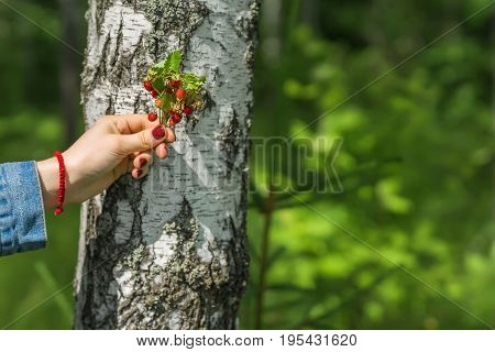 Bunch of ripe strawberries in hand of girl on background of light Birch trunk. Concept of seasons, ecology, detox, Detox, vegetarianism, healthy lifestyle, green planet