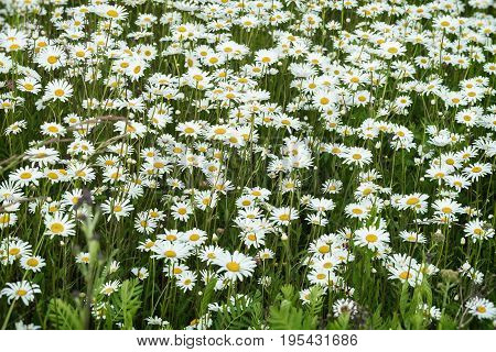 Camomiles in the wind. Beautiful wild meadow of daisy flowers. Summer day after rain. Concept of seasons, ecology, green planet, Healthy, natural green pharmacy, perfumery