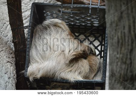 A sloth sleeping in a plastic crate