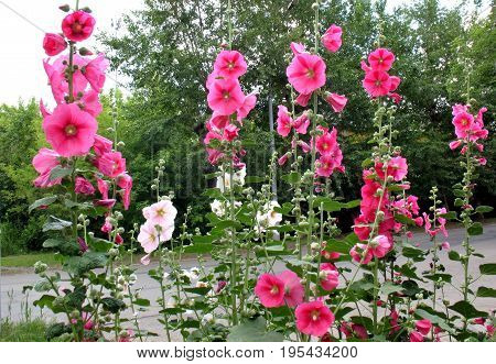 bright and beautiful flowers hollyhock in sun light