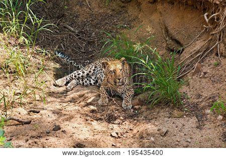 Leopard (Panthera pardus) resting in Kruger national park South Africa